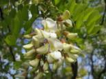 Laubbäume - Korkenzieher-Akazie 'Tortuosa', 60-100 cm, Robinia pseudoacacia 'Tortuosa', Containerware