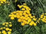 Freiflächen - Krausblättriger Rainfarn, Tanacetum vulgare forma crispum, Topfware