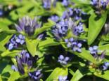 Freiflächen - Kreuz Enzian, Gentiana cruciata subsp. cruciata, Topfballen