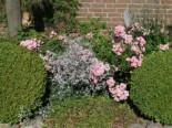 Kriechendes Garten Schleierkraut 'Compacta Plena', Gypsophila repens 'Compacta Plena', Containerware