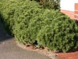 Kriechkiefer / Zwerglatsche / Zwergkiefer / Kniekiefer, 15-20 cm, Pinus mugo pumilio, Containerware