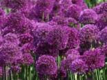 Zwiebel- und Knollenstauden - Kugel-Lauch 'Purple Sensation', Allium aflatunense 'Purple Sensation', Topfballen