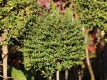 Laubbäume - Kugel-Liguster, Stamm 40 cm, Ligustrum delavayanum, Stämmchen