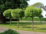 Laubbäume - Kugelahorn / Kugelbaum 'Globosum', Stamm 100 cm, 140-150 cm, Acer platanoides 'Globosum', Stämmchen