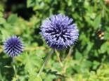 Freiflächen - Kugeldistel 'Blue Globe', Echinops banaticus 'Blue Globe', Topfware
