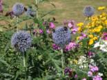 Freiflächen - Kugeldistel, Echinops ritro, Topfware