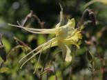 Stauden - Langspornige Akelei, Aquilegia chrysantha, Topfballen