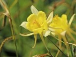 Aquilegia chrysantha 'Yellow Queen'