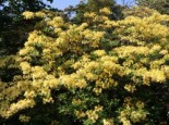 Rhododendron luteum 'Narcissiflora'