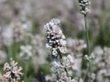 Lavendel 'Aromatica Silver' ®, Lavandula angustifolia 'Aromatica Silver' ®, Topfware