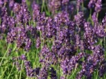 Lavendel 'Blue River' ®, Lavandula angustifolia 'Blue River' ®, Topfware