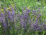 Lavendel 'Dwarf Blue', Lavandula angustifolia 'Dwarf Blue', Containerware