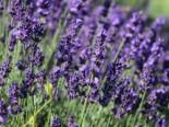 Lavendel 'Hidcote Blue' / 'Strain', 10-15 cm, Lavandula angustifolia 'Hidcote Blue' / 'Strain', Containerware