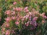 Laubbäume - Lavendelheide (echte) / Behaarte Rosmarinheide, 20-25 cm, Andromeda glaucophylla, Containerware