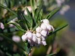 Laubbäume - Lavendelheide 'Latifolia', 25-30 cm, Andromeda glaucophylla 'Latifolia', Containerware