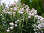 Laubbäume - Lavendelheide 'Nikko', 20-30 cm, Andromeda polifolia 'Nikko', Containerware