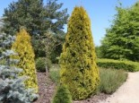 Lebensbaum 'Golden Smaragd' ®, 20-30 cm, Thuja occidentalis 'Golden Smaragd' ®, Topfware