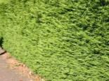 Nadelbäume u. Koniferen - Leyland-Zypresse / Grüne Baumzypresse / Riesenzypresse, 100-125 cm, Cupressocyparis leylandii, Containerware