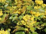 Mahonie 'Apollo'  Mahonia aquifolium