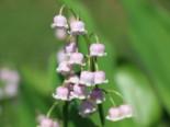 Unter Bäumen - Maiglöckchen 'Rosea', Convallaria majalis 'Rosea', Topfballen