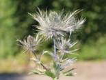 Steingarten - Mannstreu 'Blue Star', Eryngium alpinum 'Blue Star', Topfware