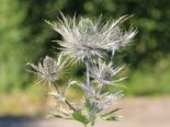Edeldistel, Mannstreu 'Blue Star' Eryngium alpinum