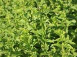 Kräuter- und Teepflanzen - Marokkanische Minze 'Maroccan', Mentha spicata 'Maroccan', Topfballen
