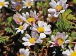 Steingarten - Marokko Kamille, Anacyclus pyrethrum var. depressus, Topfballen