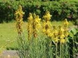 Freiflächen - Mediterrane Junkerlilie, Asphodeline lutea, Topfballen