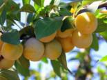 'Mirabelle von Nancy', 'Doppelte Mirabelle', Stamm 40-60 cm, 120-160 cm, Prunus 'Mirabelle von Nancy', Containerware