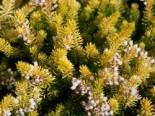 Winterheide - Cornwall-Heide 'Valerie Proudley', 10-15 cm, Erica vagans 'Valerie Proudley', Topfware