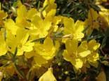Steingarten - Nachtkerze 'African Sun', Oenothera macrocarpa 'African Sun', Topfballen