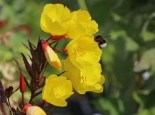 Stauden - Nachtkerze 'Erica Robin', Oenothera tetragona 'Erica Robin', Topfballen