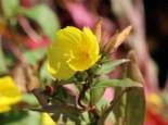 Stauden - Nachtkerze 'Michelle Ploeger', Oenothera tetragona 'Michelle Ploeger', Topfballen