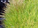 Lebensraum Wasser - Nadelsimse, Eleocharis acicularis, Topfballen