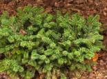 Nadelbäume u. Koniferen - Niedere Balsamtanne 'Nana', 20-25 cm, Abies balsamea 'Nana', Containerware