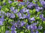 Steingarten - Niedliche Glockenblume 'Bavaria Blue', Campanula cochleariifolia 'Bavaria Blue', Topfballen