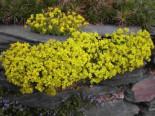 Olymp-Felsenblümchen, Draba bruniifolia, Topfware