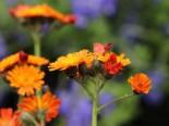 Freiflächen - Orangerotes Habichtskraut, Hieracium aurantiacum, Topfballen