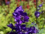 Stauden - Pacific-Rittersporn 'Black Knight', Delphinium x cultorum Pacific 'Black Knight', Topfballen