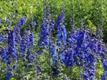 Stauden - Pacific-Rittersporn 'Blue Bird', Delphinium x cultorum Pacific 'Blue Bird', Topfballen