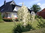 Freiflächen - Palmlilie, 30-40 cm, Yucca filamentosa, Containerware