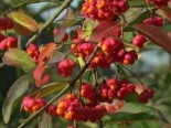 Pfaffenhütchen / Gemeiner Spindelbaum, 100-150 cm, Euonymus europaeus, Containerware