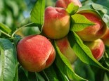 Pfirsich 'Benedicte' (S), Stamm 40-60 cm, 120-160 cm, Prunus persica 'Benedicte' (S), Containerware