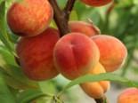 Pfirsichbaum Roter Ellerstädter