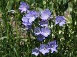 Pfirsichblättrige Glockenblume 'Grandiflora Coerulea', Campanula persicifolia 'Grandiflora Coerulea', Containerware