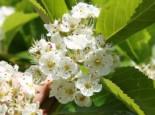 Wildbäume u. Wildsträucher - Pflaumenblättrigen Weißdorn, 60-100 cm, Crataegus prunifolia / persimilis, Containerware