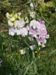 Gehölzrand - Platterbse 'Rosa Perle', Lathyrus latifolius 'Rosa Perle', Topfware