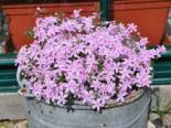 Polster-Flammenblume 'Kimono Pink-White', Phlox subulata 'Kimono Pink-White', Topfware