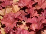 Stauden - Purpurglöckchen 'Berry Smoothie' ®, Heuchera villosa 'Berry Smoothie' ®, Topfballen